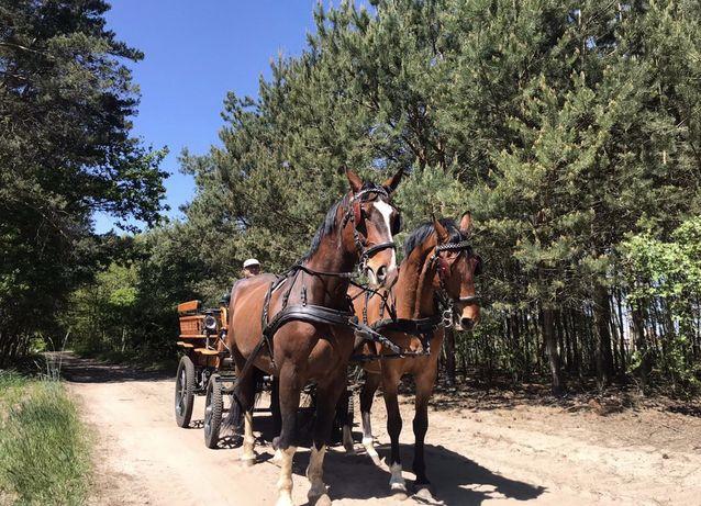 Konie do bryczki