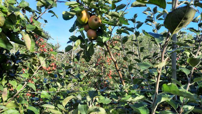 Jabłka samozbiór i sprzedaż