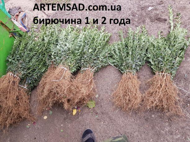 Саженцы бирючины 5 грн. ПИТОМНИК !!!
