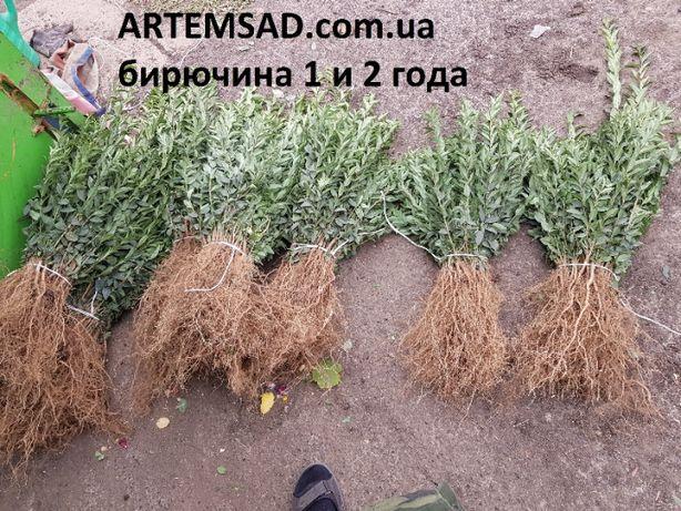 Саженцы бирючины 5 грн. 20-35 см ПИТОМНИК !!!