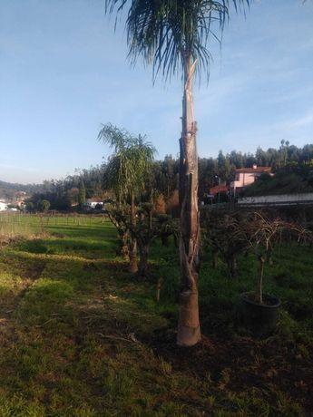 Aproveite Coqueiros Bom Preço! / Plantas / Árvores / Jardim