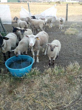 Vendo um ovelha com 2 duas borregas