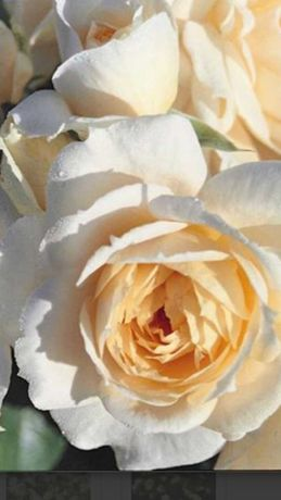 Роза саджанець Лайонс роуз