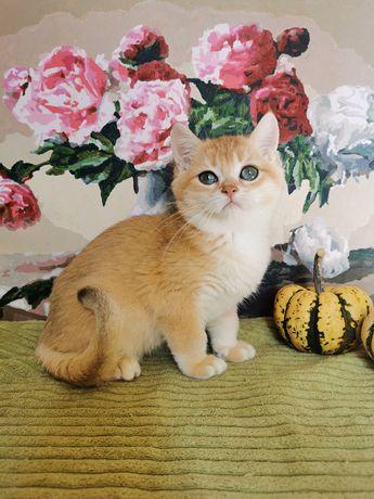 Клубный яркий котик золотая шиншилла