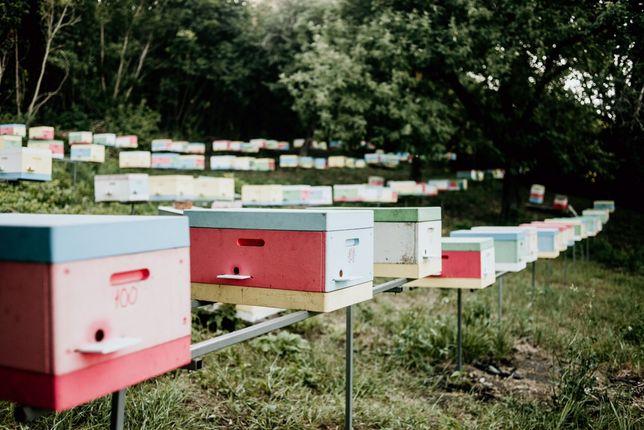 Плодные пчеломатки Бакфаст (Плідні бджоломатки Бакфаст)