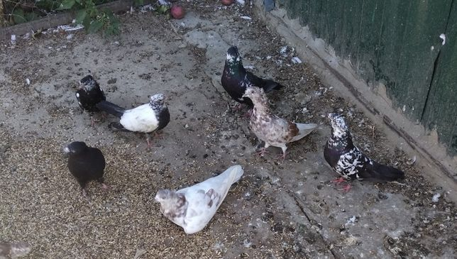 продам голубів іранські бойні кошанці