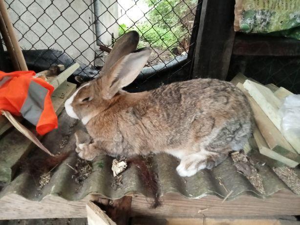 Sprzedam królika mieszaniec samiec