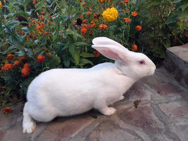Кролі термондські, , полтавське срібло, каліфорнійські