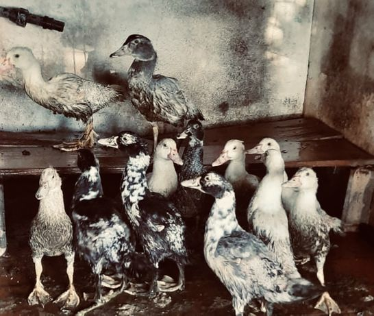 Vendo patos mudos