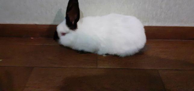 Кролик можливо обмін на кроличку