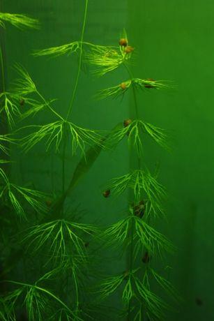Растения для аквариума. Роголистник. Валиснерия спиральная. Пецилии.