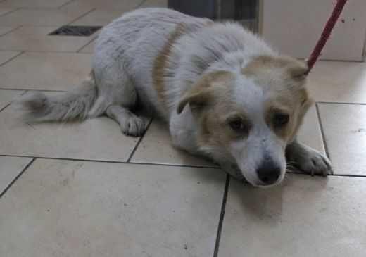 Pies znaleziony w gminie Opatówek, czyj?