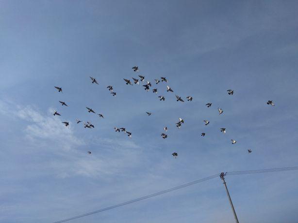 Gołębie pocztowe lotowane i rozpłodowe.