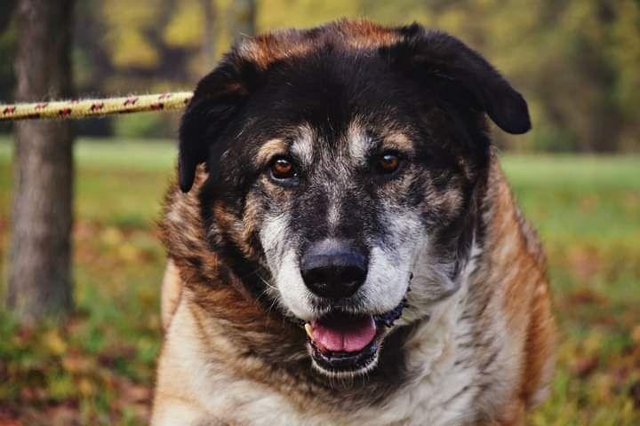 Denis to piękny, duży pies, którego na starość zawiódł człowiek... Katowice - image 1