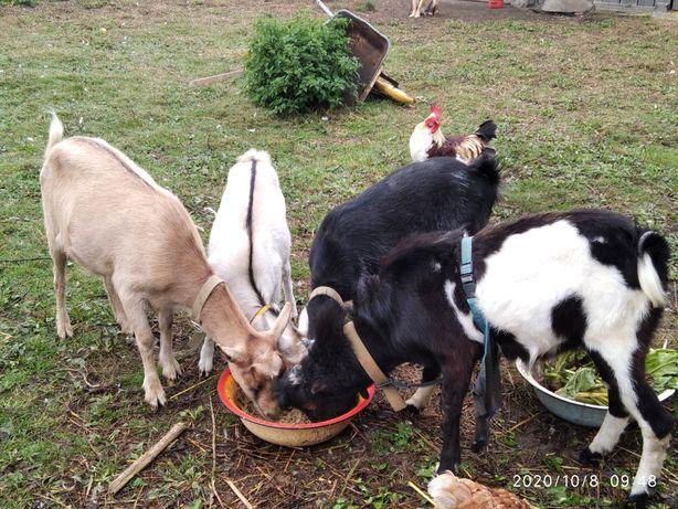 Мини стадо породистых коз, 2 козы и козлик. + Подарок