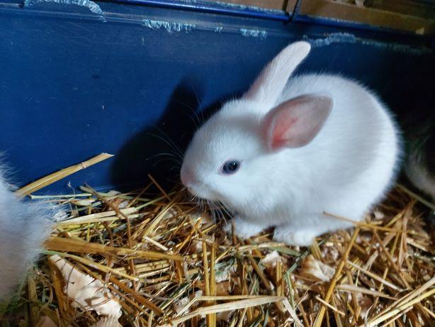 Szprzedam  króliki miniaturki 2 miesięczne