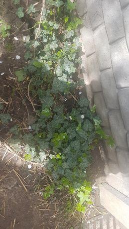 Bluszcz caly rok zielony pnaca roslina np na klomb