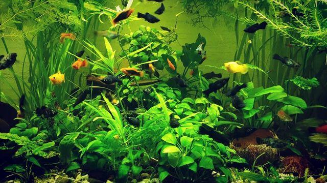 Sprzedam ryby (50 szt gupikow, molinezje)plus rośliny akwarystyczne