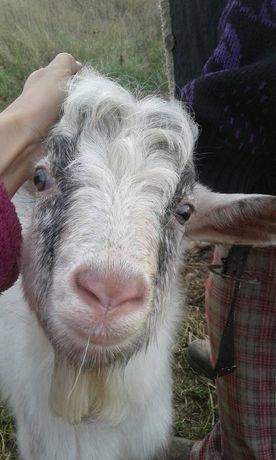 Козел для паровки кіз.
