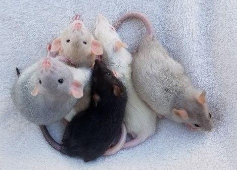 Крыса-Крыска умная ручная дамбоухая-малыши