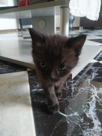 Gatinhos para adoção, preto fêmea