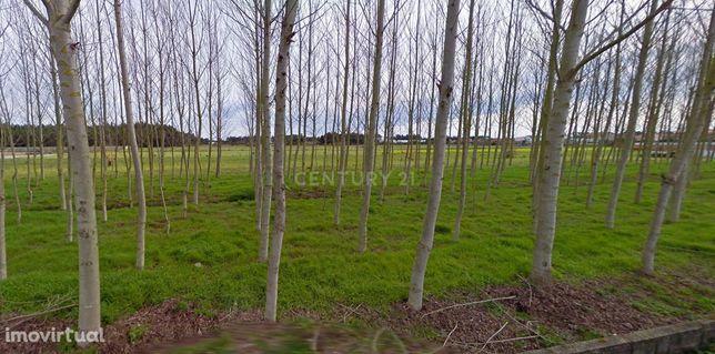 Terreno Rústico  Quintas de Basto Fonte Angeão Vagos Aveiro