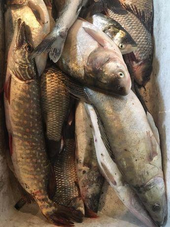 Продам живую свежевыловленную рыбу судака,карпа,амур,толстолобика