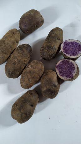 Картофель Солоха