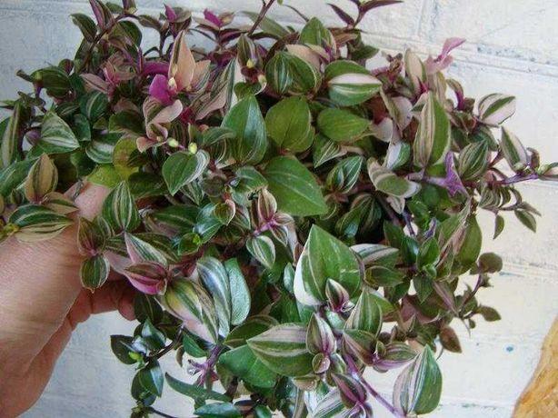 саджанці різнокольорової рослинки