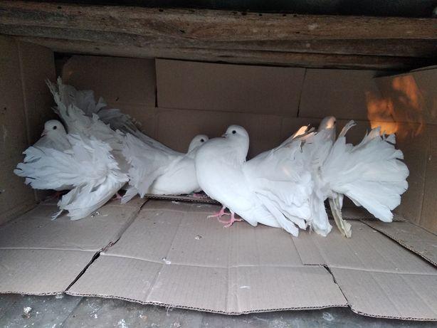 Продам голубей павлин белого цвета