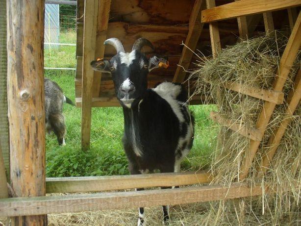 Kozie mleko,kefir,sery- bezstresowy udój ręczny