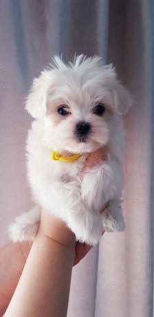 Miniaturowy Piesek Maltańczyk z Rodowodem