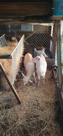 Um casal de cabras e comedouro