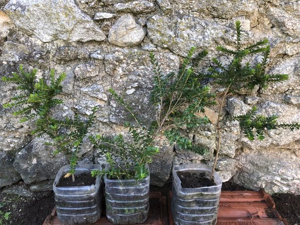 Murta planta biológica