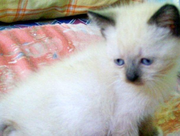 Породистые тайские котята