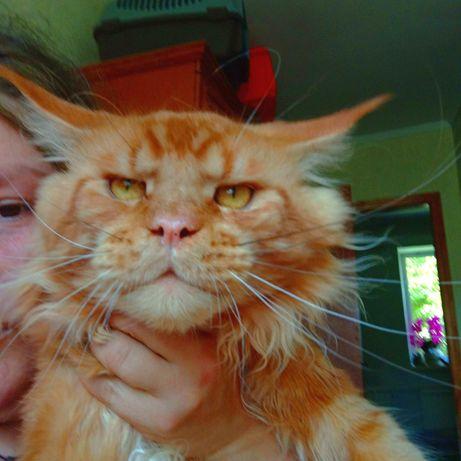 Рыжие котята XXL  Мейн Кун Кошки Великаны Винница