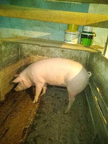 Продам свиню м'ясної породи