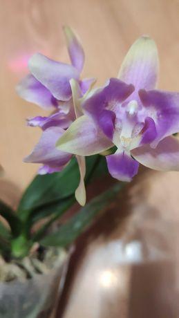 Орхидея Pink Bee Peloric