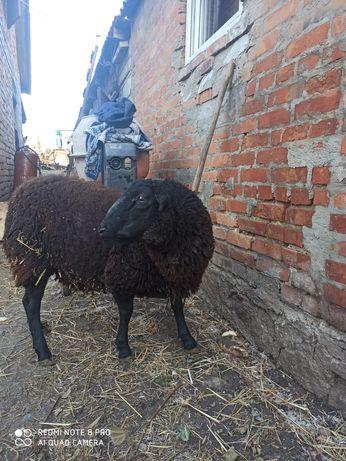 Продам вівці. Баран крос дорпер-суфолк 50/50.вік