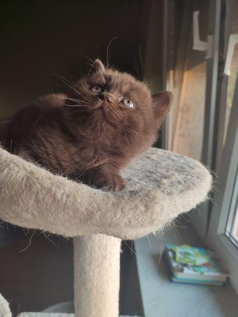 Kotek brytyjski krótkowłosy czekoladowy
