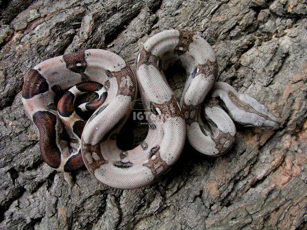 Wąż- Samiec Pastel Boaline 66% het. Kahl Albino