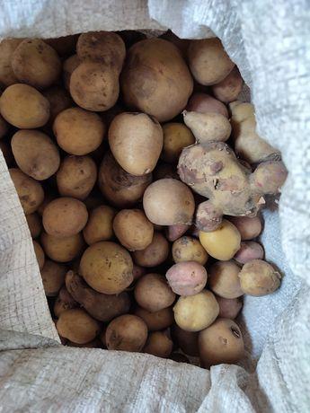 Картошка мелкая для корма животных картофель картопля бульба