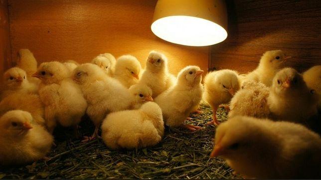 Инкубационные яйца Росс 308
