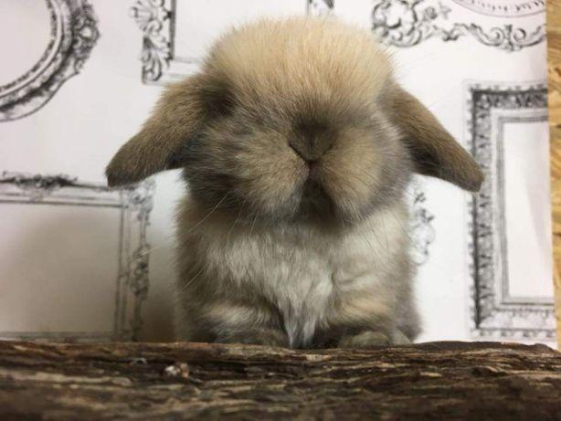 Królik miniaturka króliczek baranek mini lop karzełek teddy lewek