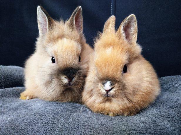Króliki miniaturki, królik miniaturka