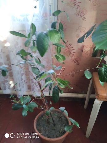 Дерева. Фейхуа. 5 лет
