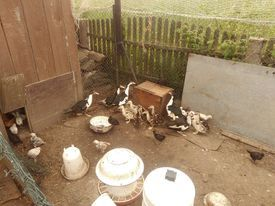 kaczki i kaczorki kolorowe ekologiczne
