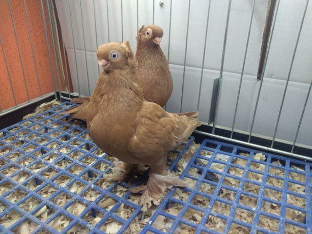 Gołębie wywrotki mazurskie