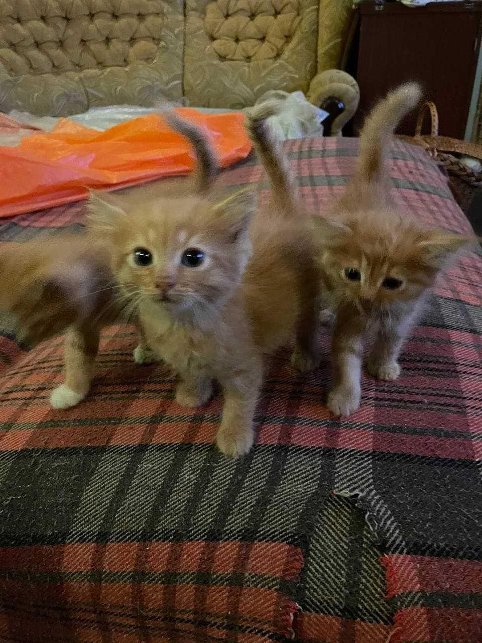 Котята рыженькие возраст 1,5 мес.