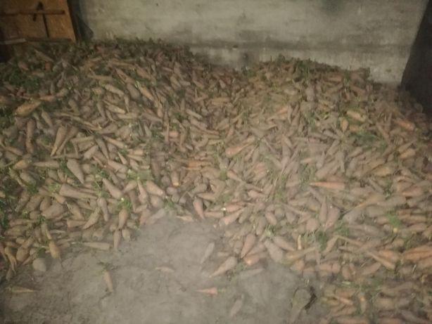 Marchew pastewna 50gr za kg